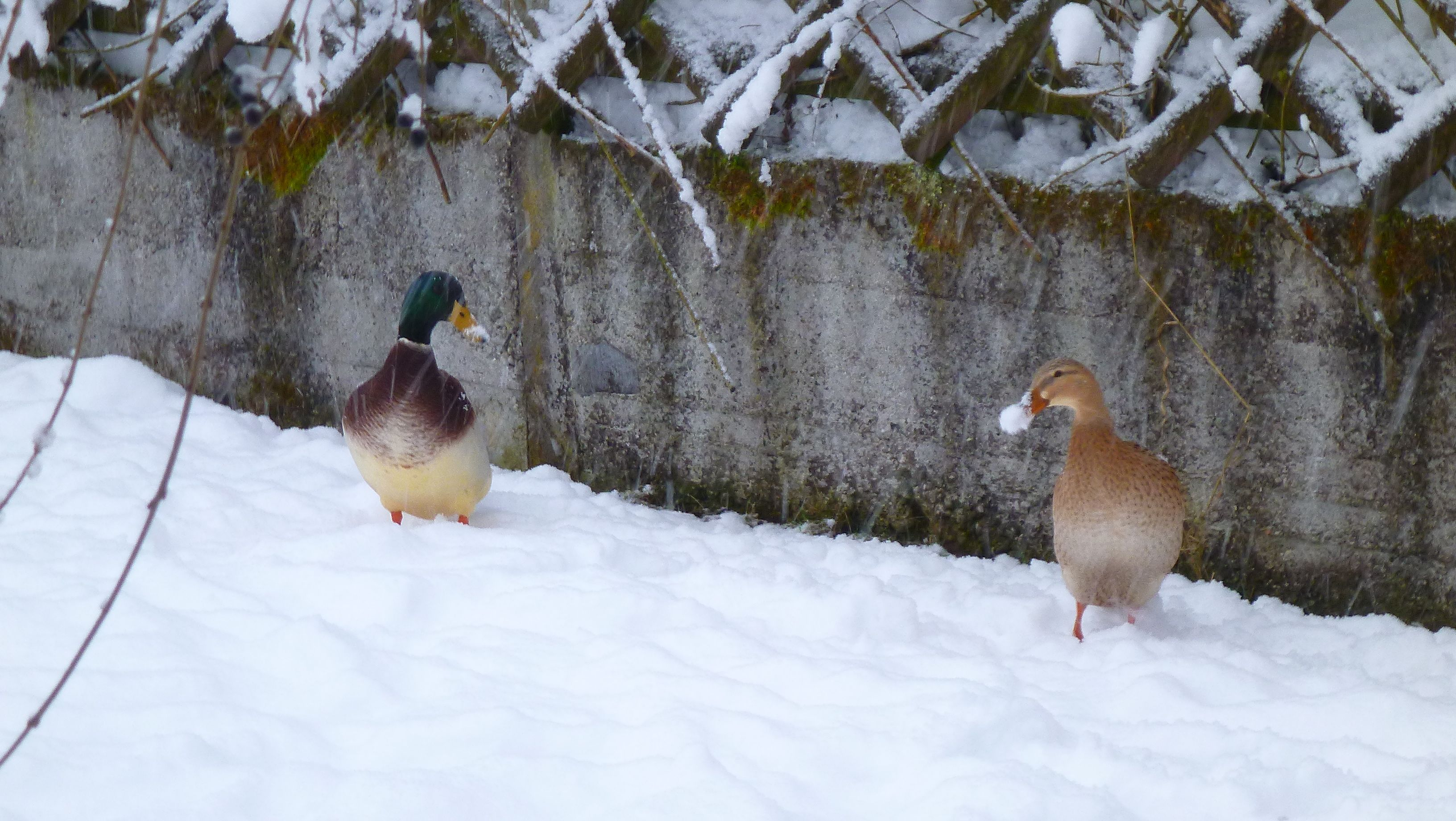 Schnee am Schnabel :o)