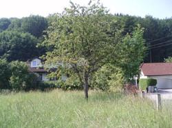 wild aufgeganger Kirschbaum