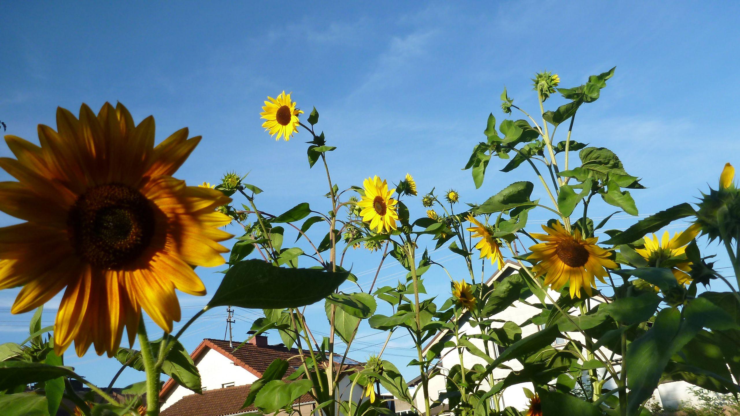 3m hohe Sonnenblumen