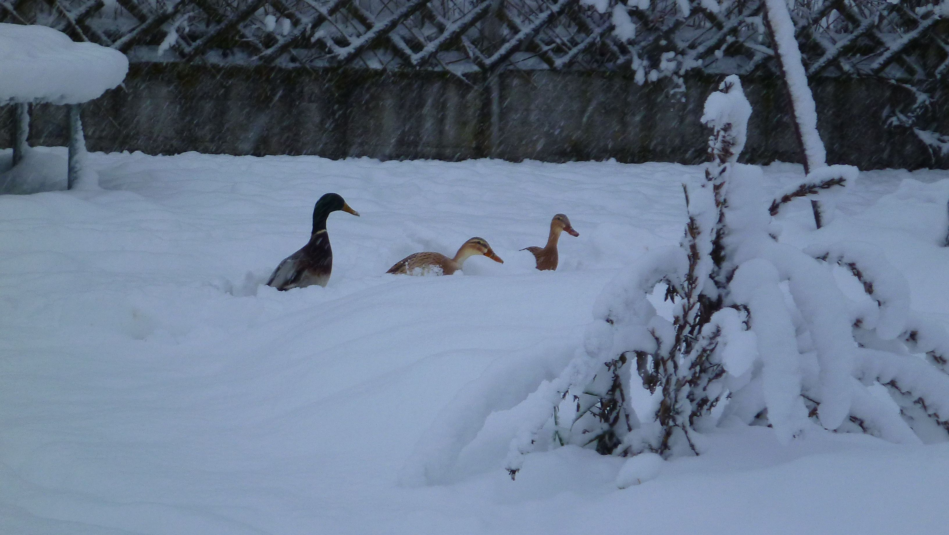 Mein Enten im Winter