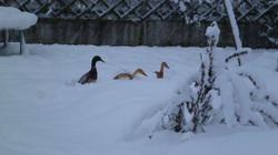 Mein Enten im Winter