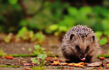 hedgehog-child-1701534_1920.jpg