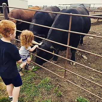 Red Angus and Angus Bulls in Nebraska