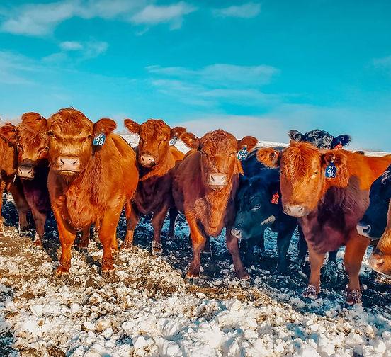 Red Angus Angus Bred Heifers