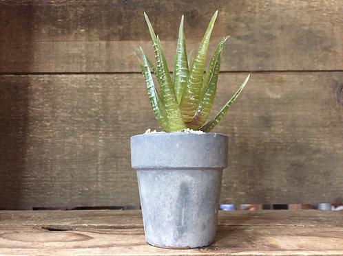 "4.5"" x 2"" x 2"" Plastic Potted Succulent Plant by Grassland Roads"
