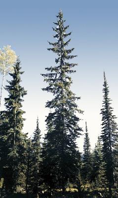Englemann Spruce