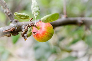1600px-Single_Apple_on_an_Apple_Tree.jpg