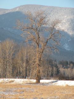 Black_Cottonwood_in_Winter_(16155619751)
