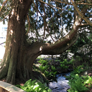 Does the tree enjoy living so close to this beautiful stream?