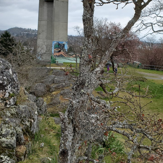 E, aged 6 said this tree gave her a sense of wonder because of the view of the city, and a sense of fun because she was able to climb on the rocks! It is definitely not the biggest tree but it is quite interesting how this small Garry Oak was still able to grow in a very difficult environment, on top of a rock.