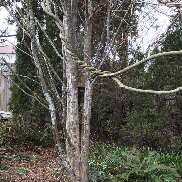 What attracted me to this tree was the way neighbouring vines connect to it and use it as a ladder.