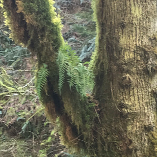This tree is offering a home to some licorice ferns! How kind!