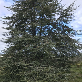 This beautiful, graceful deodar cedar has wonderfully soft-looking needles.