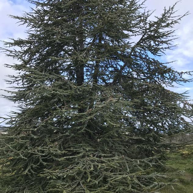 This beautiful, graceful deodar cedar has wonderfully soft-looking needles.