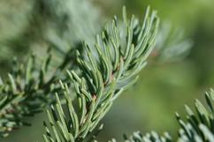 Picea_mariana_(Black_Spruce).jpg