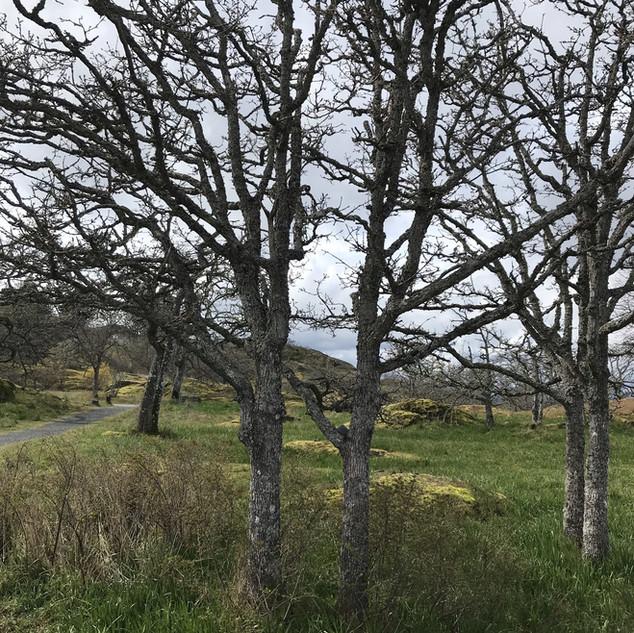 Twins living amongst a family of Garry Oak Trees.