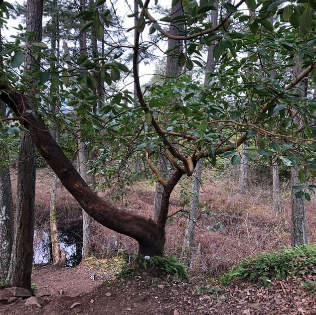 """L, aged 8 shares """"I feel this is a special spot on open land near a pond in the sun. The tree is beautiful because of its branches that stretch out. I like Arbutus trees because they are cool looking."""""""