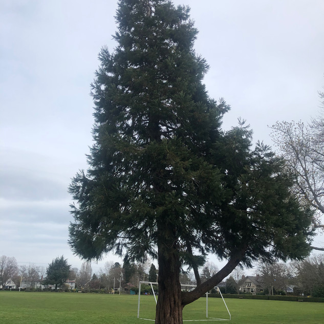 """J, aged 5 shares, """"This tall tree has pinecones underneath it. It has two large lower branches that look like the letter u."""""""