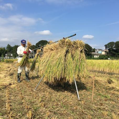 天日干し作業中!! 一手間かけたお米は旨味が違います。