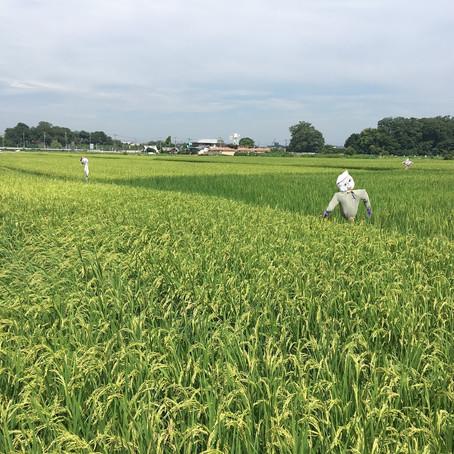 収穫1か月前 案山子大活躍               この景色!東京のオアシスです。