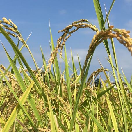 収穫少し前 大事に育ててきたお米。           大分実ってきました。~頭を垂れる稲穂かな~