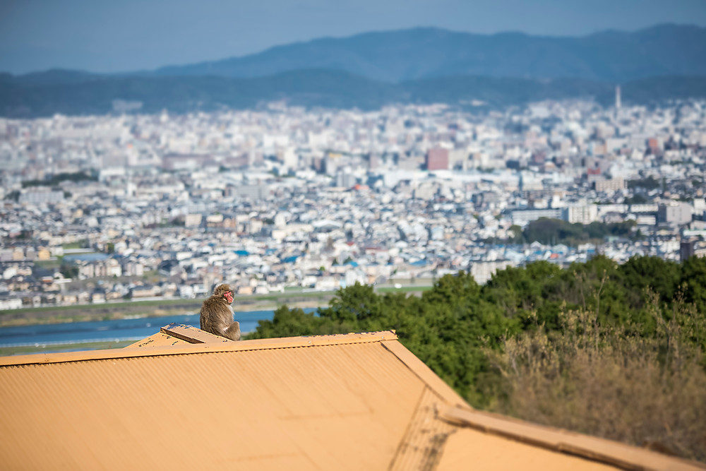 Monkey on a roof above Kyoto- ©BrianDecrop