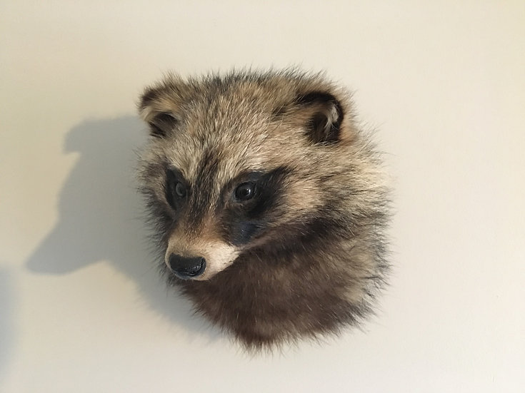 Taxidermy raccoon dog shoulder mount - Tanuki Nyctereutes procyonoides