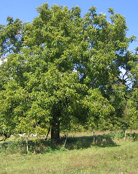 walnut_tree_france_edited.jpg