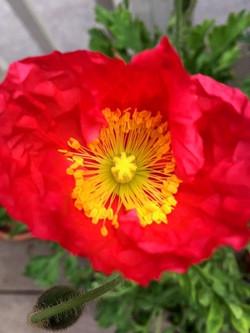Red Hot Poppy