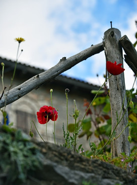 Arcadia-Greece-wild-poppies-wood-fence.J