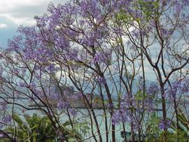 Jacaranda-tree-Bourtzi-Nafplio-The-Greek
