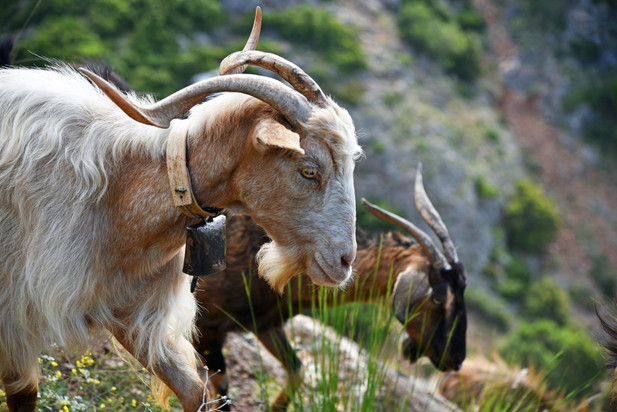 Arcadia-Greece-goats.JPG