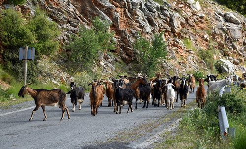 Arcadia-Greece-goats-in-the-road.JPG