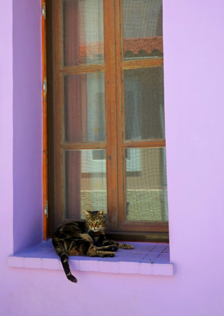 Samos cat in purple window