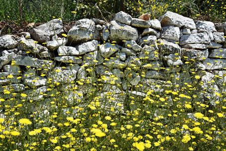 Arcadia-Greece-stone-wall-and-yellow-flowers.jpg