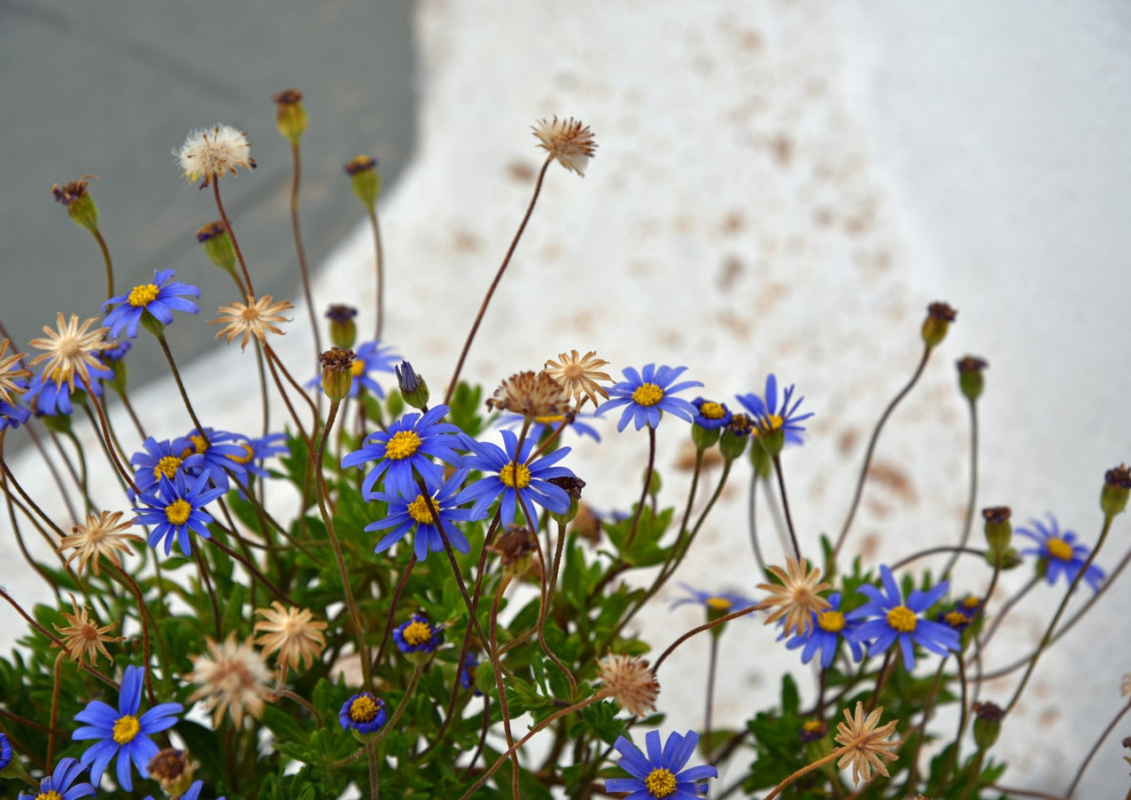 Santorini-wildflowers-The-Greekish-Life.