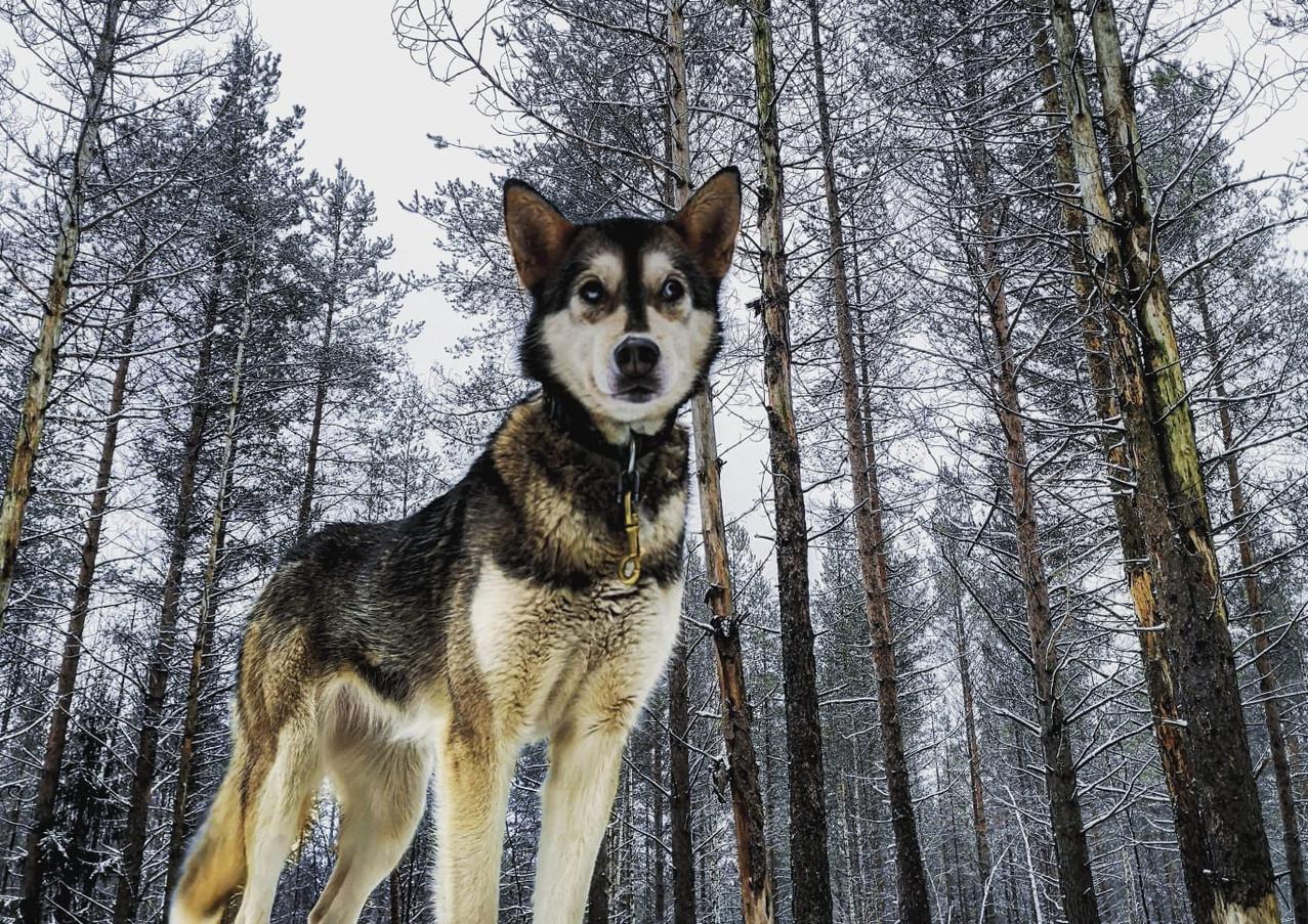 Husky au chenil Hossa Laponie