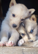 Chenil chiots husky