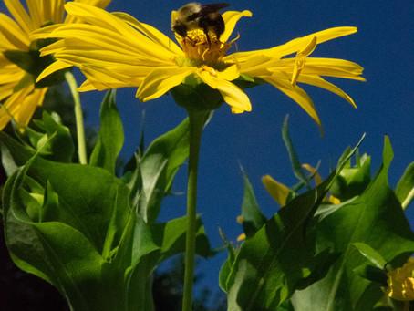 Plant Hacks: Giant Native Weed