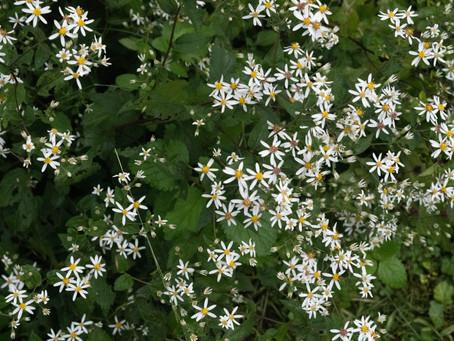 Plant Hacks: My Favorite Native Weeds, Wood Aster
