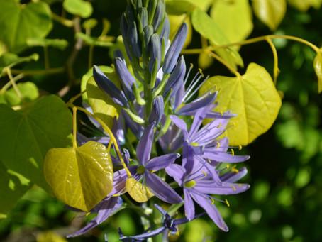 Plant Hacks: May Bloom - Native Spring Bulb, Camassia leichtlinii