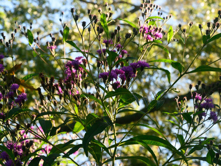 Plant Hacks: Ironweed (Vernonia fasciculata)