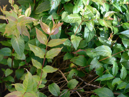Plant Hacks: Native Bush Honeysuckle (Diervilla rivularis Kodiak® Red)