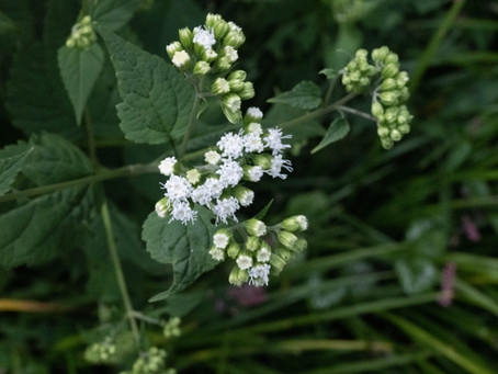 Plant Hacks: My Favorite Native Weeds, White Snakeroot