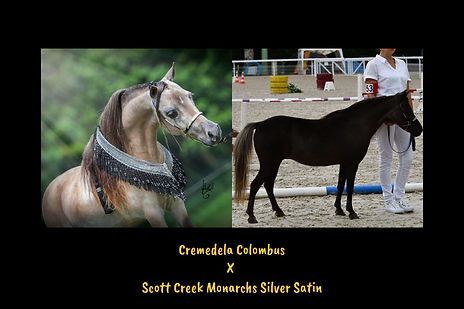 Cremedela Colombus x Scott Creek Monarchs Silver Satin.jpg