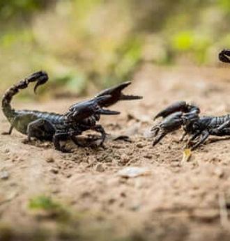 tipos-de-escorpioes.jpg
