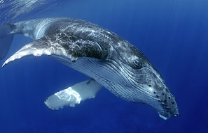 Humpback wHALE,bluexperience, freedivehq