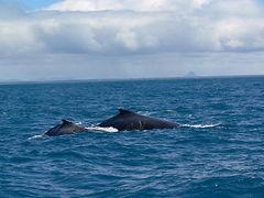 avistamento de baleia jubarte