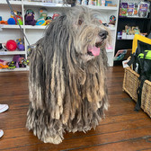 Bertie the Bergamasco visiting Sandys Grooming Tails & K9 Cafe