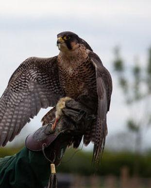 falcon-raptor-hunter-falconry-2321519.jp